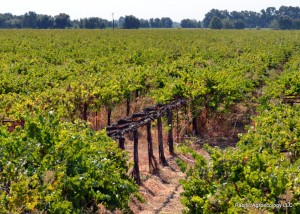 Vines prepared for destructive sampling to assess carbon content.