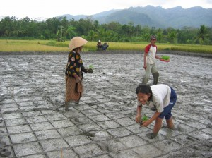 Rice planting in Indonesia.