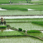 Rice paddies in the Mekong Delta, Viet Nam